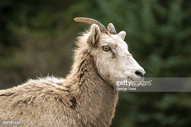 A young bighorn sheep is viewed walking along the Bow River Parkway on April 23 2016 in Banff Springs Alberta Canada Banff is Canada's oldest...