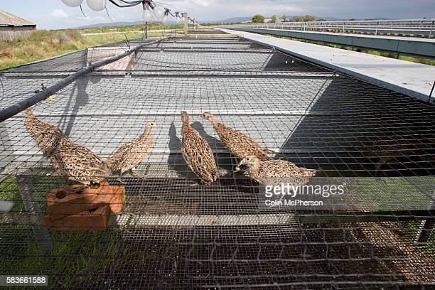 Young birds being kept in a raised cage laying unit used for breeding and maturing pheasants at HyFly Hatcheries a company based in Preesall near...