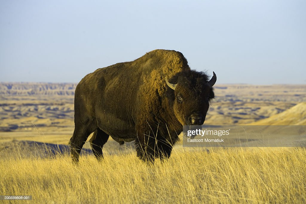 Young bison bull standing in grass, autumn : Stock Photo