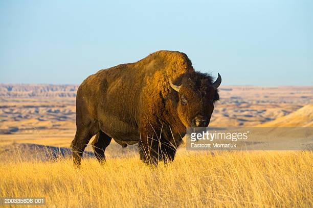Young bison bull standing in grass, autumn
