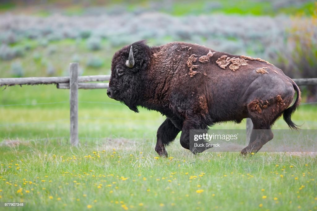 Young bison running through pasture : Stock Photo