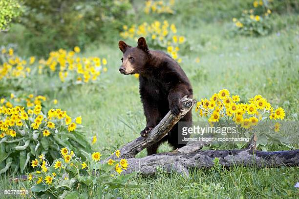 young black bear (ursus americanus), a year and a half old, in captivity, among arrowleaf balsam root, animals of montana, bozeman, montana, united states of america, north america - bozeman stock pictures, royalty-free photos & images