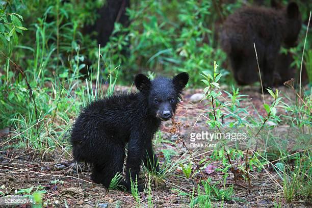 Young Black Bear (Ursus Americanus) Cub And Sibling; Centreville British Columbia Canada
