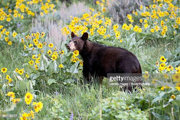young black bear (ursus americanus), one and a half years old, in captivity, among arrowleaf balsam root, animals of montana, bozeman, montana, united states of america, north america - bozeman stock pictures, royalty-free photos & images
