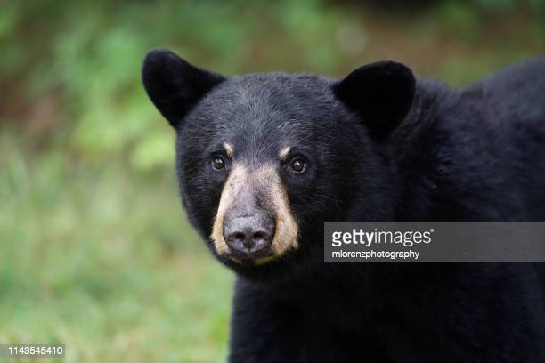 young black bear - bear cub stock pictures, royalty-free photos & images