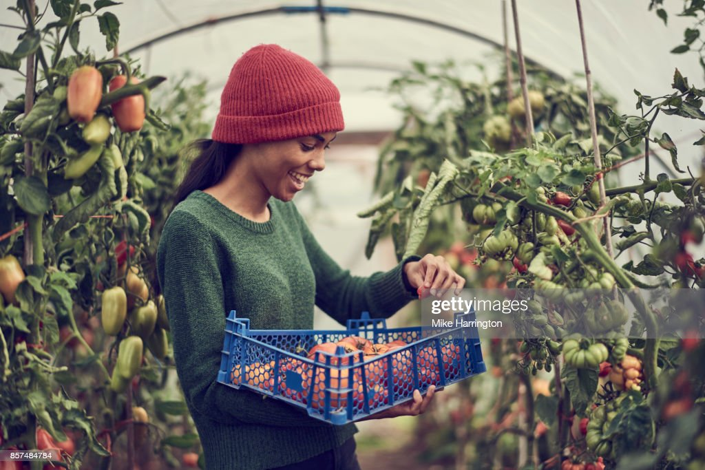 Young black female collecting vine tomatoes from cumminity allotment : Stock Photo
