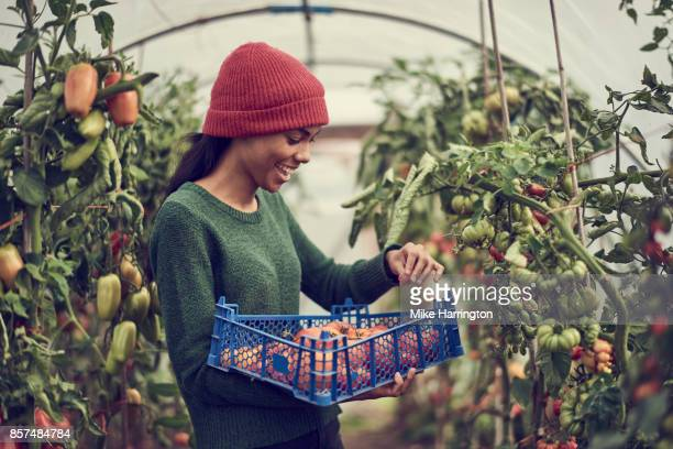 young black female collecting vine tomatoes from cumminity allotment - sustainability stock photos and pictures