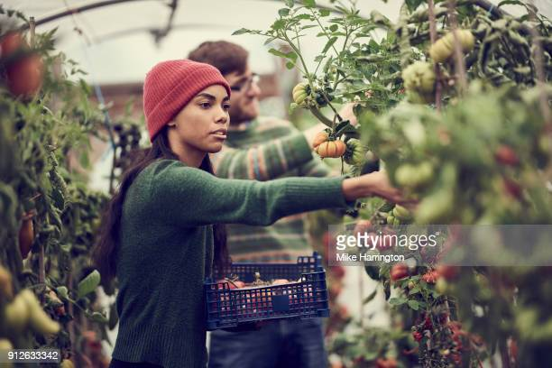 young black female picking vegetables in community allotment - black man bulge stock pictures, royalty-free photos & images