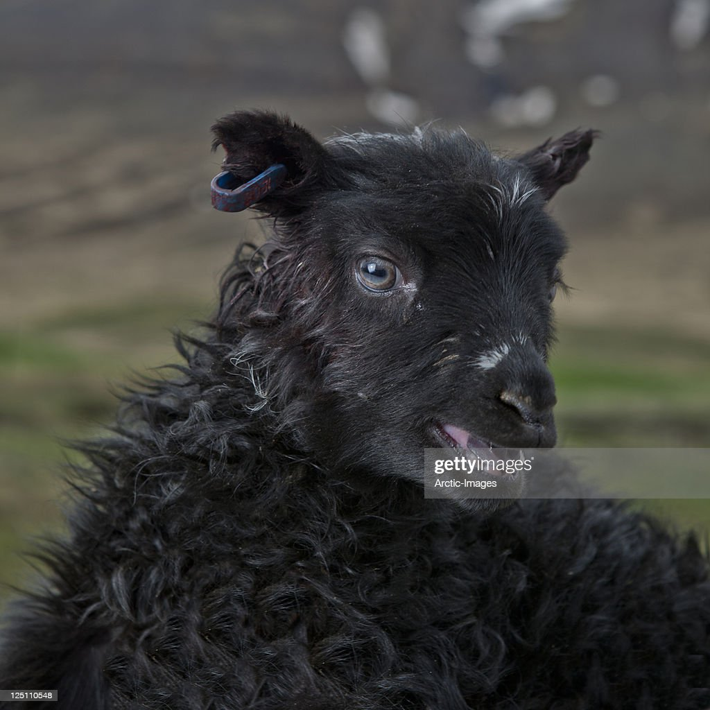 Young black spring lamb : Stock Photo
