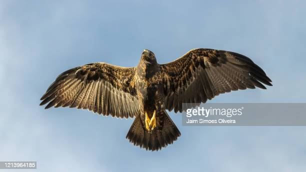 young black-chested buzzard-eagle flying free - águia serrana - fotografias e filmes do acervo