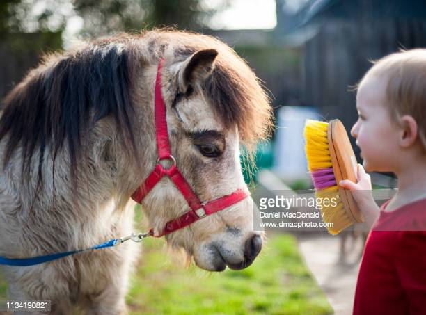 Young blond girl (age 3 years) brushing the hair of a pony.