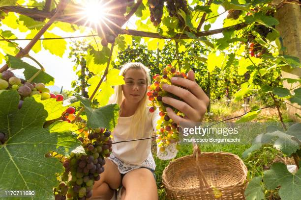 young blonde woman checks ripening bunch of grapes in the vineyards, italy - italia stockfoto's en -beelden