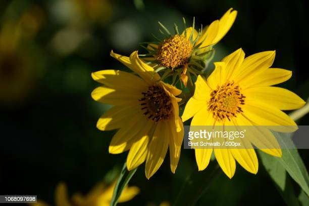 Young blooming sunflowers