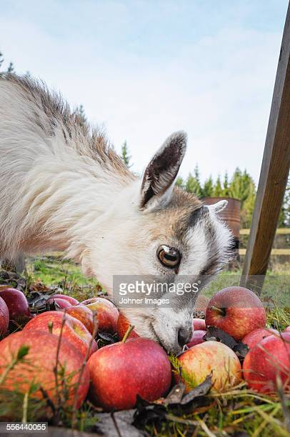 Young boat eating apples