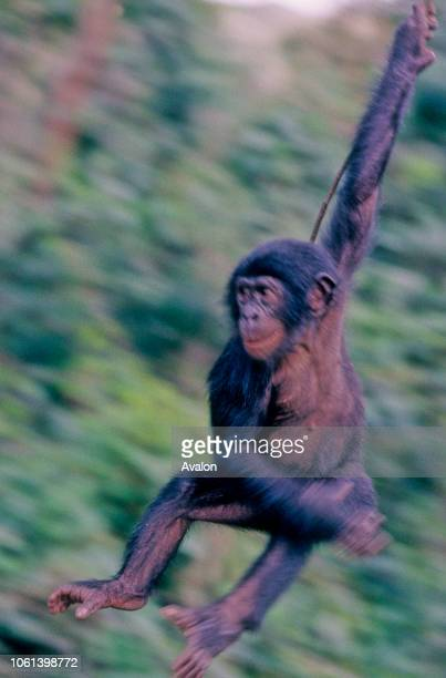 Young bonobo swinging through trees at sanctuary in Kinshasa Date 250608