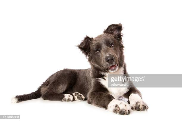 young border collie pup - lying down stock pictures, royalty-free photos & images