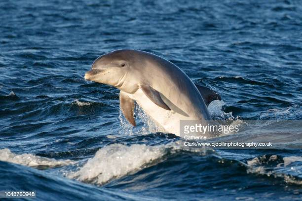young bottlenose dolphin breaches in sunlight in the moray firth, scotland - dolphin stock pictures, royalty-free photos & images