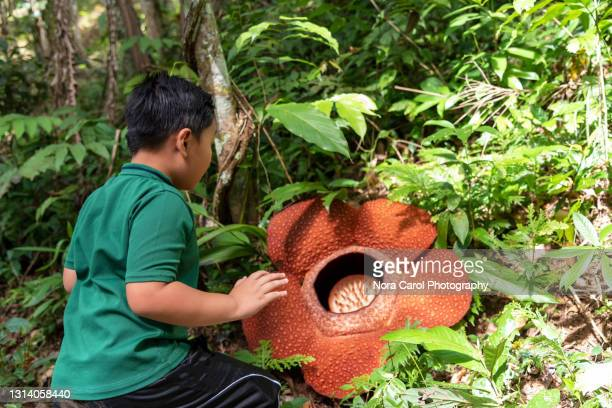 young boy and rafflesia flower - biggest stock pictures, royalty-free photos & images