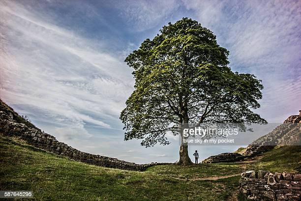 a young boy at sycamore gap on the hadrians wall - sycamore tree stock photos and pictures