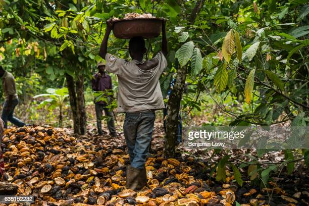 A young boy carries a basket filled with the 'meaty' seeds of a cocoa plant in small secluded farming commune near Abengourou Cote d'Ivoire