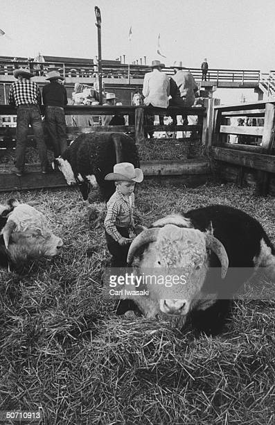 Young boy currying on his family's steers during the National Western Stock show