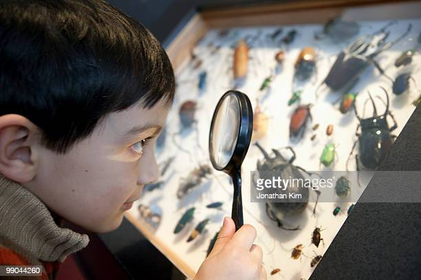 young boy examines beetle display.  - invertebrate stock pictures, royalty-free photos & images