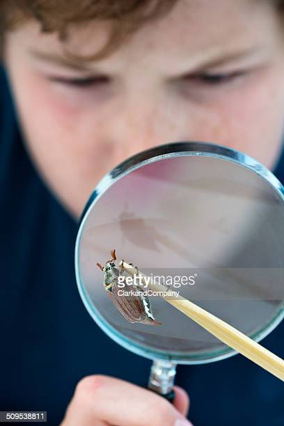 young boy examining maybug beetle or melolontha melolontha. - zoology stock pictures, royalty-free photos & images
