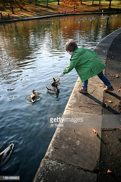 young boy feeding ducks at local park - bradford england stock pictures, royalty-free photos & images