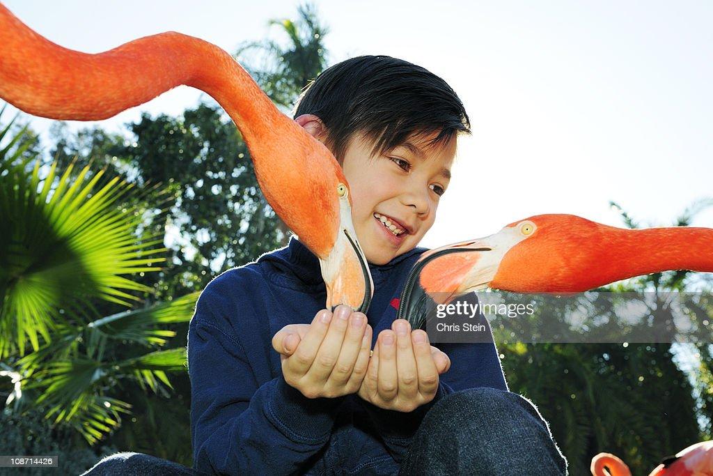 Young Boy Feeding Flamingos : Stock Photo