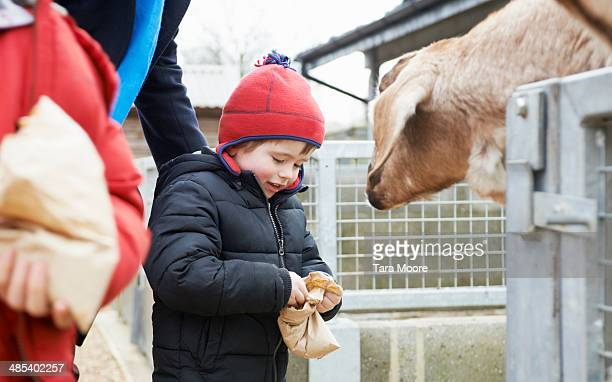 young boy feeding goat at zoo