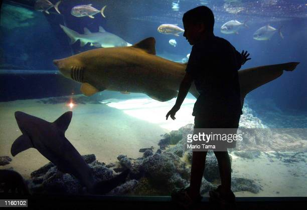 A young boy gets an upclose look at sharks swimming in a tank at the New York Aquarium August 7 2001 in Coney Island New York City There were 79...