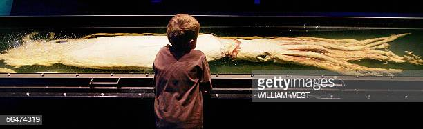 A young boy inspects a tenmetre long giant squid at a display of amazing marine life at the Melbourne Museum 21 December 2005 Very little is known...