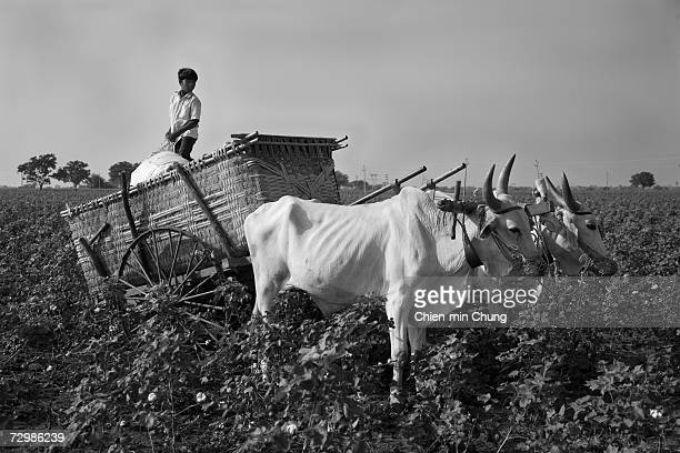 A young boy loads cotton bales onto an ox cart on November 11 2006 in Warangal Andrah Pradash India Cotton pickers most women and children make about...