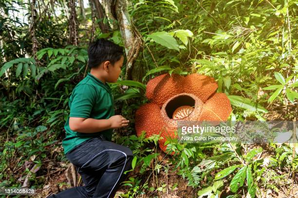 young boy looking at rafflesia flower - biggest stock pictures, royalty-free photos & images