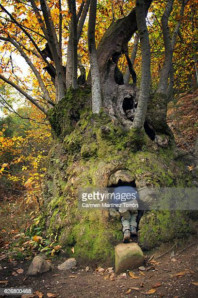 young boy looking through hole in centenary tree, spain. - peeping holes ストックフォトと画像