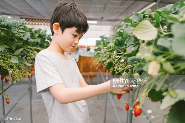 Young boy picking a strawberry