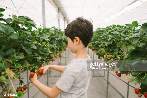 young boy picking a strawberry - peter lourenco stock pictures, royalty-free photos & images