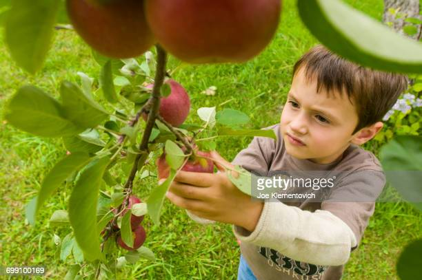 Young boy picking bright red apples.