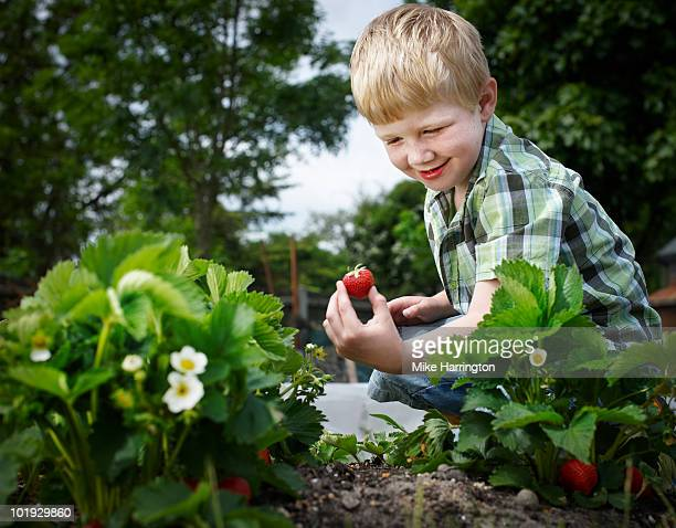 young boy picking strawberries - picking stock pictures, royalty-free photos & images