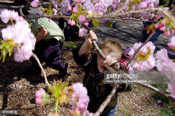 A young boy reaches up to grab a branch of a blossoming cherry tree at the Brooklyn Botanic Garden where the Cherry Blossom Festival will be...