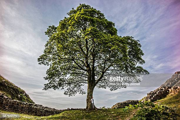 a young boy resting at sycamore gap hadrians wall - sycamore tree stock photos and pictures