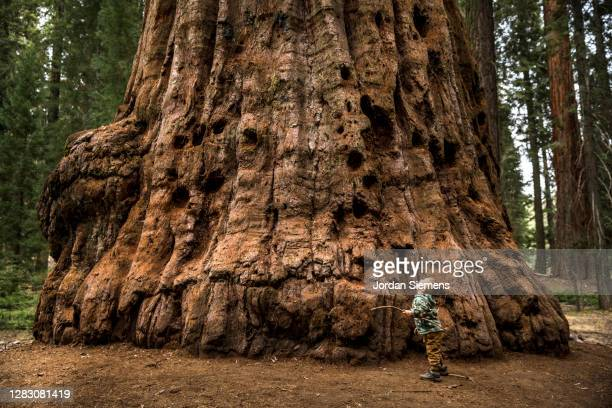 a young boy standing in front of a giant sequoia tree. - oversized stock pictures, royalty-free photos & images