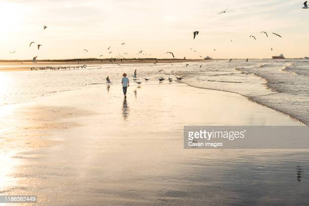 young boy walking on a beach at sunset - 水鳥 ストックフォトと画像