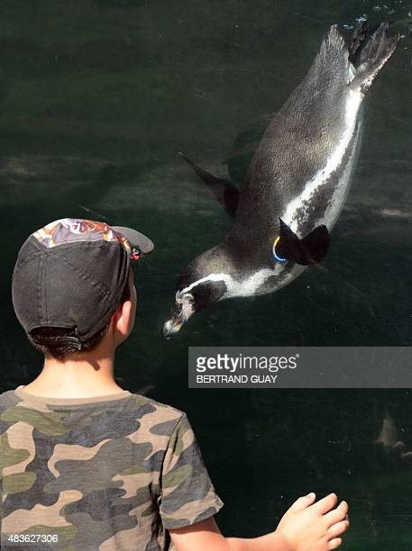 A young boy watches a Humboldt penguin swim in its enclosure at the Paris Zoological Park formerly known as the Bois de Vincennes Zoological Park in...