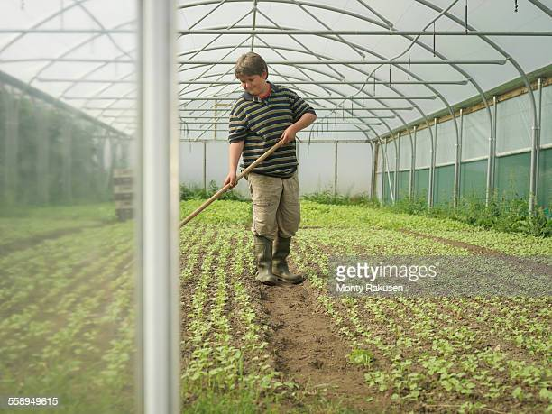 Young boy weeding organic radishes in poly tunnel