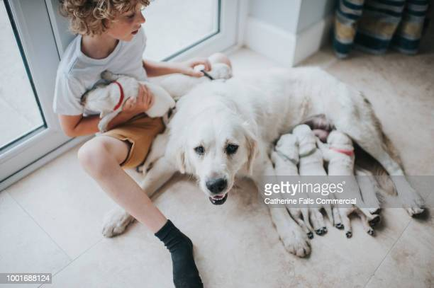 young boy with mother golden retriever and her puppies - kids first aid kit stock pictures, royalty-free photos & images