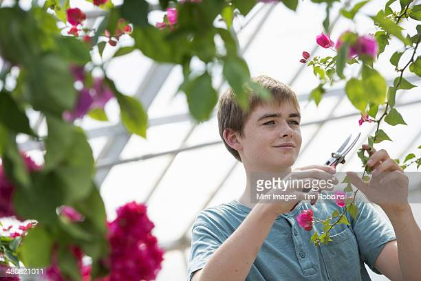a young boy working in an organic nursery greenhouse. - teenagers only stock pictures, royalty-free photos & images