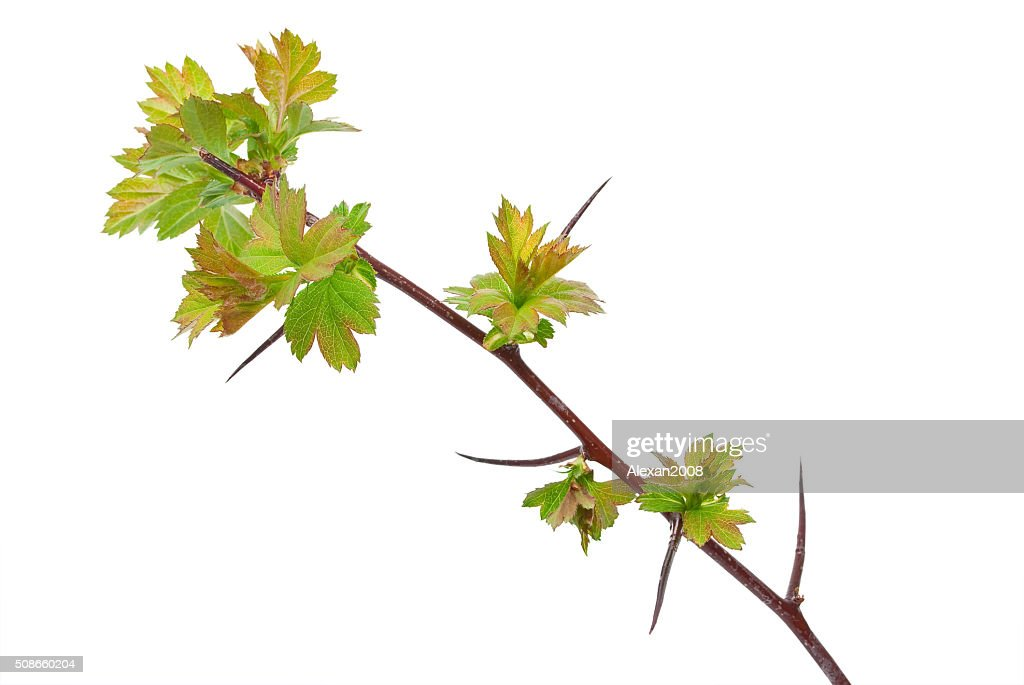 Young branch hawthorn : Stock Photo