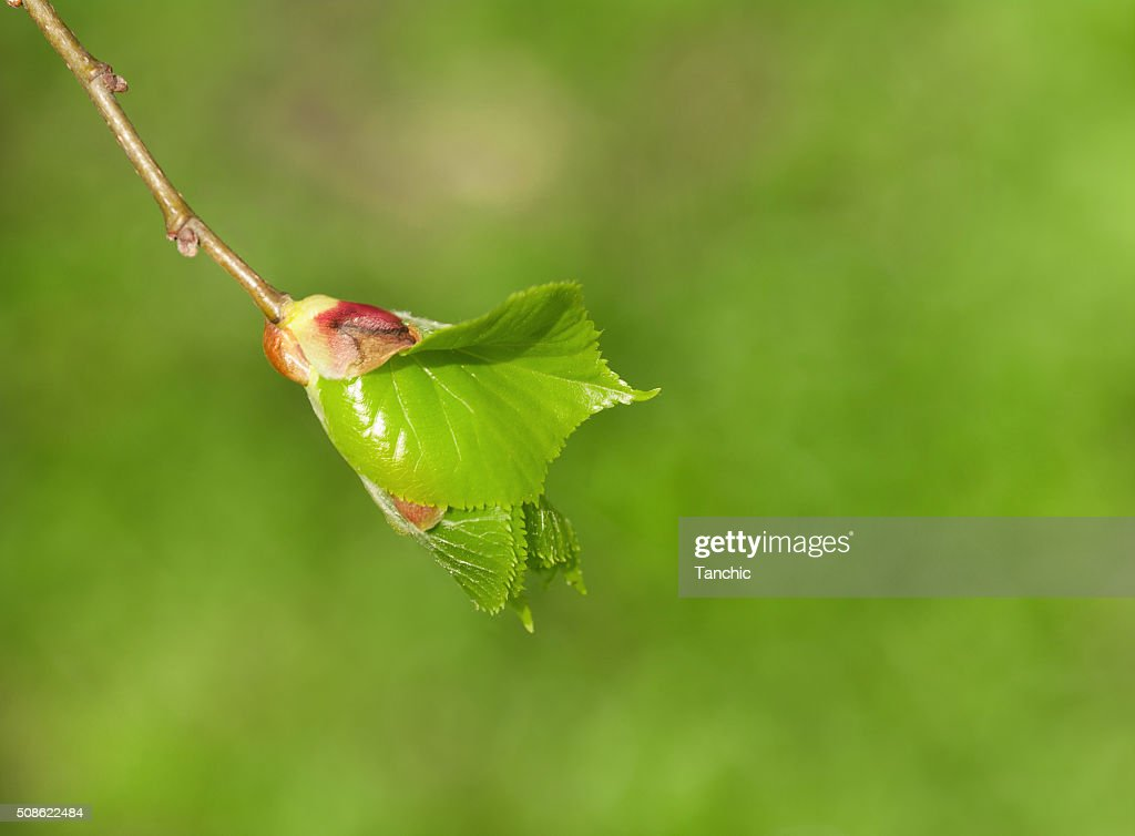 young branch with leaves  on a green background : Stock Photo