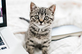young british shorthair kitten wants to